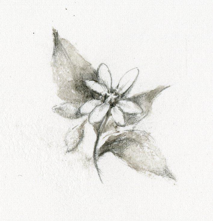 星の花001